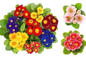 Primula flowers. Spring primroses