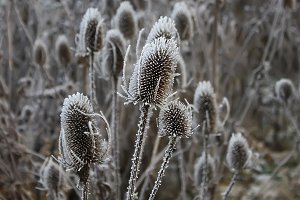 Teasel (Dipsacus Fullonum) plants at