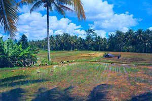 Geeses in rice fields near the town Ubud in Bali.jpg