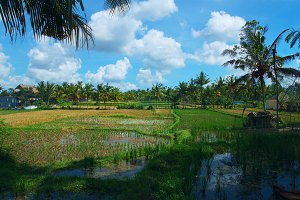 Rice field at town Ubud in Bali.jpg