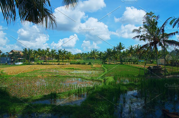 Rice field at town Ubud in Bali.jpg - Photos
