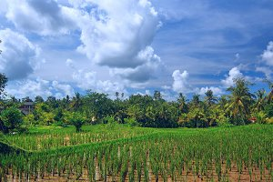 Rice field at town Ubud on Bali.jpg