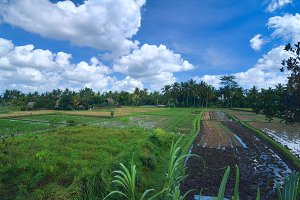 Rice field near town Ubud in Bali.jpg