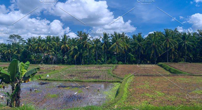 Geeses and herons on a rice field.jpg - Photos