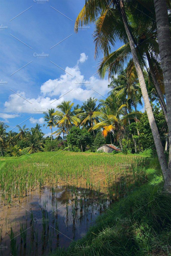 Rice field at town Ubud in Bali (2).jpg - Photos