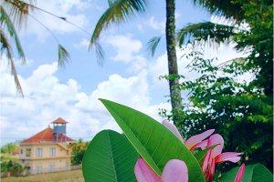 Flower frangipani  on a background of rice field.jpg