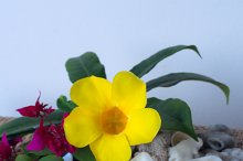 Frangipani flower and yellow flower with seashells.jpg