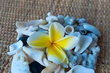 Frangipani flower and many white seashells.jpg