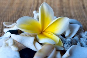 Frangipani flower and white seashells.jpg