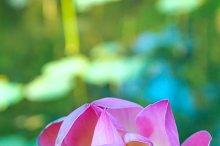 Lotus flower in the pond.jpg