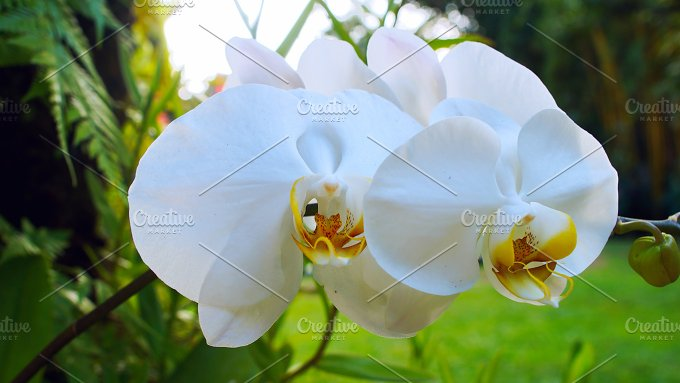 Beautiful white orchid branch.jpg - Photos