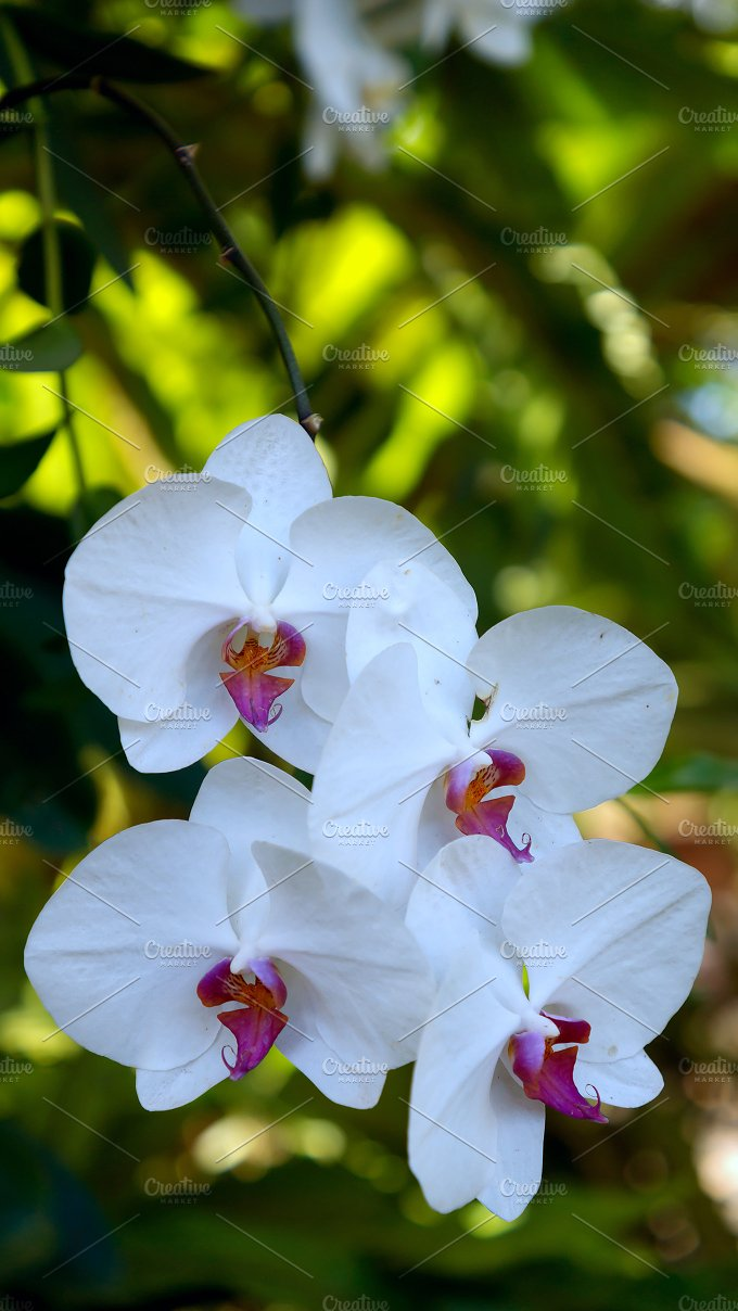 Beautiful white branch of orchid.jpg - Photos