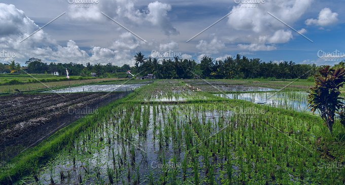 Rice field with geeses.jpg - Nature