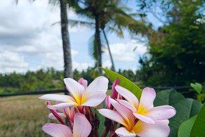 Frangipani flower on background of a rice field.jpg