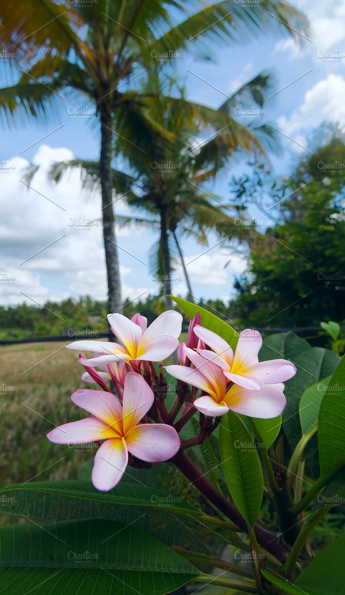 Frangipani flower on background of a rice field.jpg - Photos