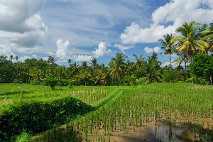 Rice field near the town of Ubud.jpg