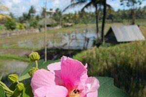 Flower on background of rice field.jpg
