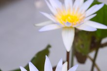 The lotus flower in the pond.jpg