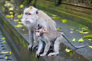 Monkeys in the park of Ubud in Bali.jpg