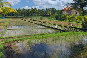 House on rice field at the town of Ubud in Bali.jpg