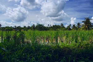 Rice field near the town Ubud in Bali.jpg