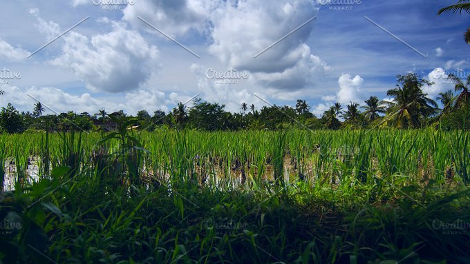 Rice field near the town Ubud in Bali.jpg - Photos