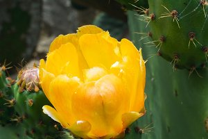 Close up of cactus flower.jpg