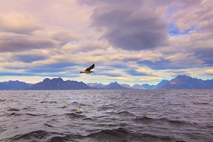 Seagull over Norwegian sea.jpg