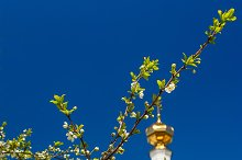 Branch of the cherry blossoms against white church.jpg
