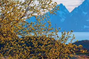 Green bush on background of snow-capped mountains.jpg