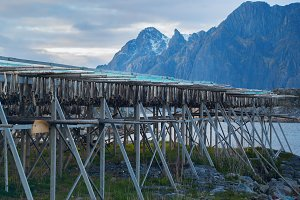 Rows of dried cod in Lofoten.jpg