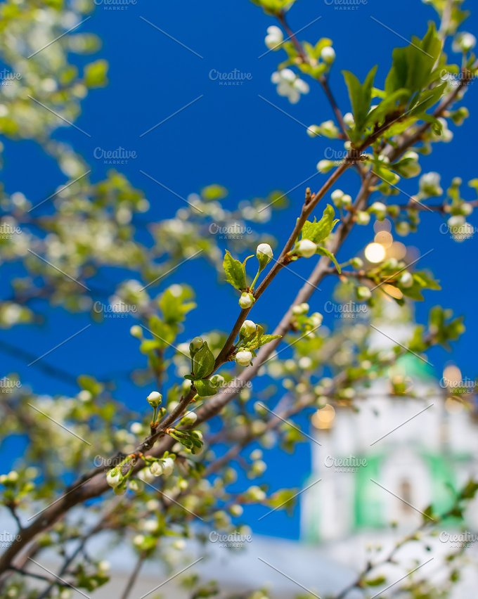 Clouse up of branch of blossoms cherry.jpg - Nature