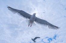 Gulls in the cloudy sky.jpg
