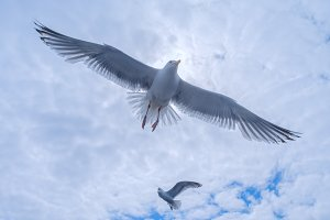 Gulls in the cloudy sky.jpg
