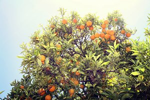 Orange Tree, Napa Valley