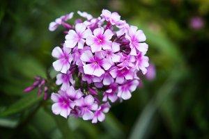Pink Phlox Flower