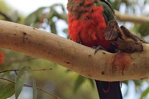 Juvenile Australian King Parrot