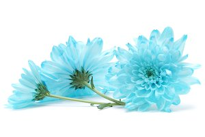 blue chrysanthemum flower on white