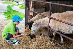 boy feeding sheep