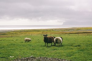 Sheep near ocean in Iceland