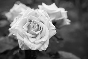 Black and white rose flower