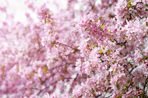 Pink flowers of cherry tree