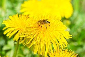 Bee on dandelion in green grass
