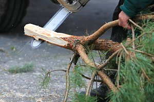 Cutting a fir-tree on New Year
