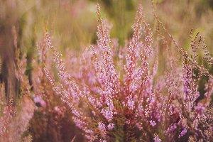 Pink flowers | Wildflowers