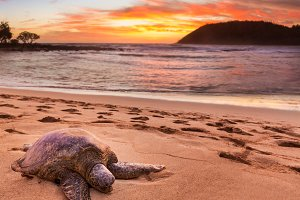 Beached sea turtle on sand at sunset