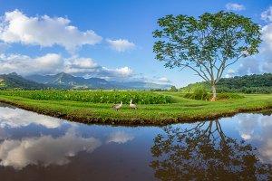 Panorama Hanalei Valley Taro