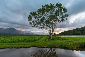 Panorama of Hanalei Valley Taro
