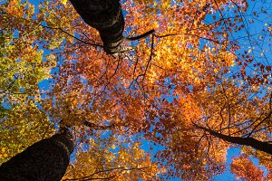 Looking up at fall leaves in autumn
