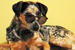 Funny dog with sunglasses